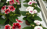 Как посадить глоксинию семенами