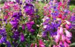 Пенстемон цветы