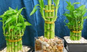 Бамбук лаки спираль в пробирке уход