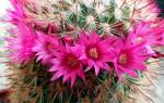 Цветение кактусов в домашних условиях
