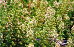 Цвет резеда