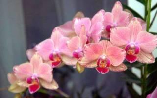 Семена орхидеи как выращивать