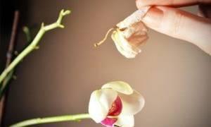 Когда отцветает орхидея что делать со стеблем