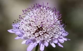Скабиоза цветок