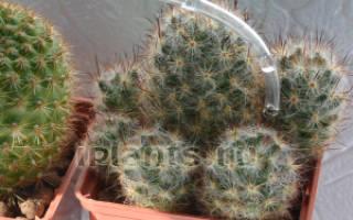 Нужно ли поливать кактус