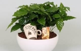 Цветок кофе в домашних условиях
