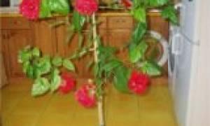 Как обрезать китайскую розу