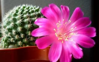 Как сделать чтобы кактус зацвел