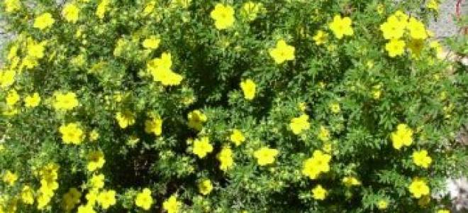 Обрезка лапчатки кустарниковой осенью