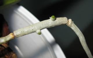 Можно ли вырастить орхидею из корня