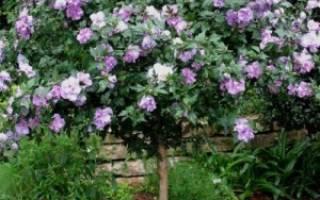 Гибискус древовидный садовый уход и размножение