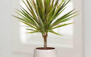 Пальма драцена уход в домашних условиях