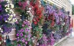 Цветы ампельные в горшках