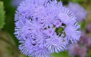 Голубая норка цветы