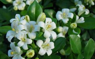 Мурайя почему не цветет