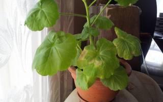У герани желтеют и сохнут листья
