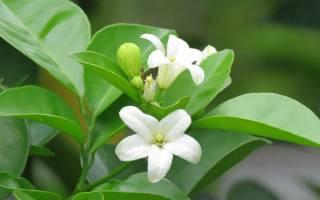 Мурайя растение