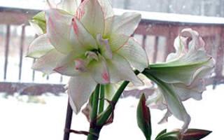 Что делать с амариллисом после цветения