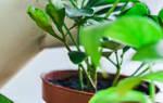 Как поливать замиокулькас в домашних условиях