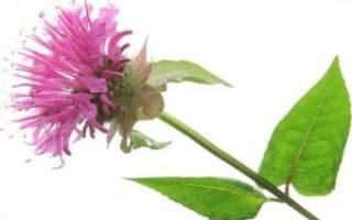 Растение монарда