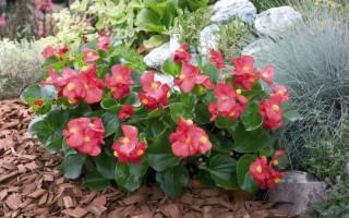 Бегония в саду выращивание и уход