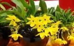 Променея орхидея
