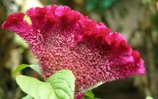 Целозия коралловый сад