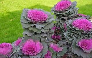 Цветок капуста декоративная