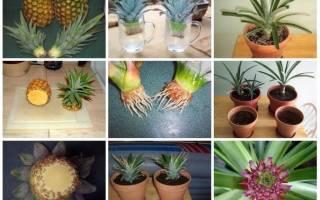 Как посадить ананас из верхушки