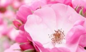Цветы шиповника лечебные свойства и противопоказания