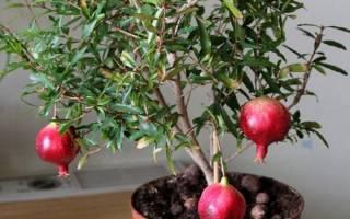 Гранатовое дерево в домашних условиях уход