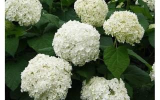 Как рассадить гортензию садовую делением куста