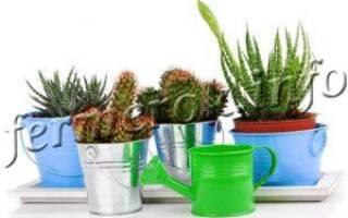 Как часто поливать кактус в домашних условиях