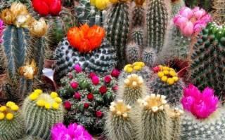 Комнатные растения кактус