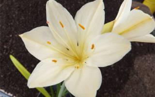 Цветок валлота