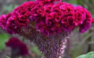Цветок петушиный гребешок