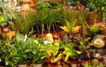 Комнатные цветы с пестрыми листьями