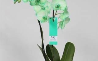 Зеленый фаленопсис