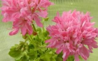 Пеларгония pink vectis sparkler