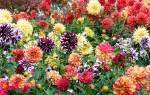 Когда цветут георгины месяц