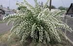 Почему не цветет жасмин садовый