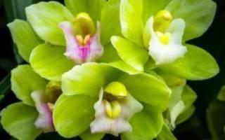 Салатовая орхидея