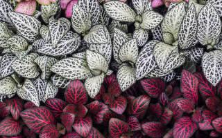 Фиттония цветы