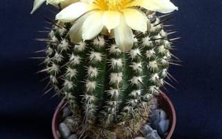 Цветы кактуса