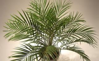 Уход за финиковой пальмой