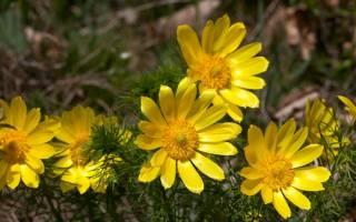 Адонис цветок выращивание