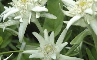 Эдельвейс цветок где растет