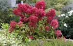 Гортензия метельчатая красная