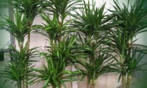 Как рассадить пальму в домашних условиях