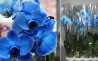Синяя орхидея крашеная или нет